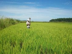 Brasil, quem diria, também produz arroz sem veneno  http://controversia.com.br/3565