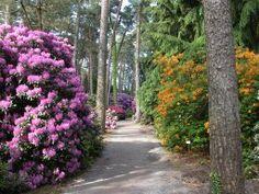 Rhododendron und Azaleen im Rhododendronpark Graal-Müritz an der Ostsee