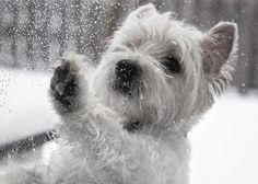 West Highland Terrier playing with the snow!