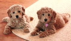 Goldendoodles...sweet!