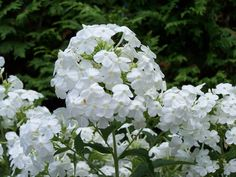Phlox 'Midsummer White'  This phlox will get much taller than it's creeping cousin.  It reaches about chest high and has wonderful pannicles of blooms.