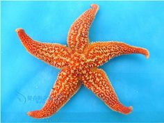 Free Shipping 2014 new natural fingers thorns starfish conch shells small wall-floor Wholesale Wedding Decoration
