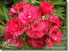 Rubis - Nerium oleander rot gefüllt - www.oleandershop.de - Oleanderhof