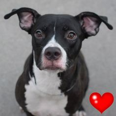 SAFE 9-15-2015 --- Brooklyn Center MISS PIGGY – A1050533  FEMALE, BLACK / WHITE, AM PIT BULL TER, 1 yr STRAY – STRAY WAIT, NO HOLD Reason STRAY Intake condition UNSPECIFIE Intake Date 09/06/2015 http://nycdogs.urgentpodr.org/miss-piggy-a1050533/