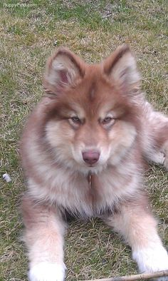 Native American Indian dog...hypoallergenic and it looks like an interesting cross between a husky, malamute, coyote, and shepherd. Just gorgeous!