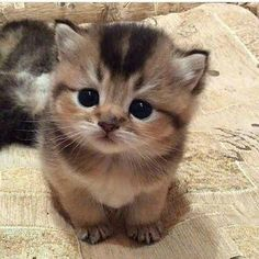 Smol kitten - your daily dose of funny cats - cute kittens - pet memes - pets in clothes - kitty breeds - sweet animal pictures - perfect photos for cat moms Cute Baby Cats, Kittens And Puppies, Cute Cats And Kittens, Cute Baby Animals, Cool Cats, Funny Animals, Kitty Cats, Adorable Kittens, Funny Cats