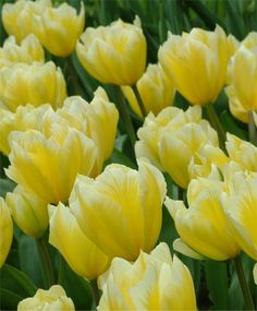 Selections from the John Scheepers Beauty from Bulbs Dutch Flower Bulbs Catalog Tulip 'Sweetheart'