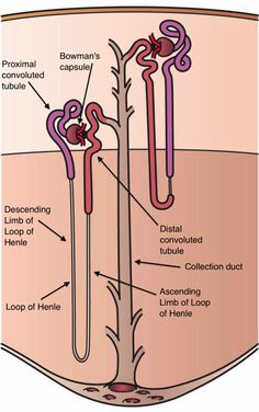 Juxtamedullary nephrons: A. Have smaller sized glomeruli B. Possess short loops of Henle C. Both descending and ascending limbs of loop of Henle contain thin segments. Asa De Henle, Loop Of Henle, Arteries Anatomy, Medical Laboratory Science, Biomedical Science, Cell Line, Body Map, Human Anatomy And Physiology, Filter