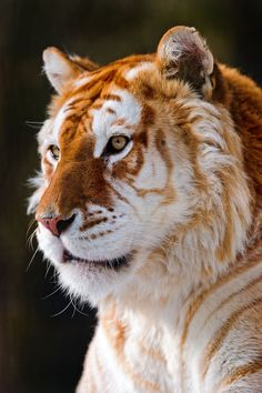 Golden tabby tiger-- an extremely rare mutation. So beautiful!