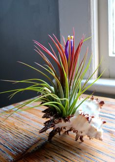 Guaranteed Blooming Ionantha Air Plant displayed in Long Spine Murex Seashell - A Great Gift!