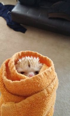A rage-filled hedgehog burrito.