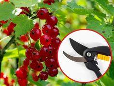 Cięcie porzeczek. Jak i kiedy przycinać porzeczki? Pruning Shears, Fruit Trees, Vegetable Garden, Garden Tools, Vegetables, Plants, Diy, Tablature, Lawn And Garden