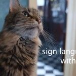 Deaf Cat Finds Home Where Sign Language Is 'Spoken'  -  Bambi learns to speak American Sign Language from her new owner and feline siblings.