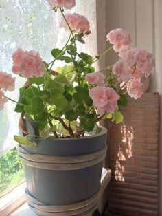 Pelargonia Mårbacka´ - ostin näitä ihanuuksia viikolla Plantagenista