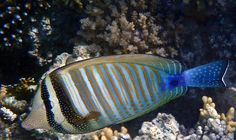 Zebrasoma is a genus of Surgeonfish. I am delighted every time I see it and get to photograph it. Zebrasoma is also called Sailfin Tang. Johanna Hurmerinta Photography