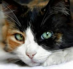 Calico Cats With Green Eyes Explore our guide to cats, kittens and their habitats. Learn about over a hundred different cat breeds and how to deal with troub Pretty Cats, Beautiful Cats, Gorgeous Eyes, I Love Cats, Crazy Cats, Gatos Ragdoll, Ragdoll Kittens, Tabby Cats, Siamese Cats