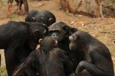 Zac and Co., Chimp Eden, Mpumalanga SA