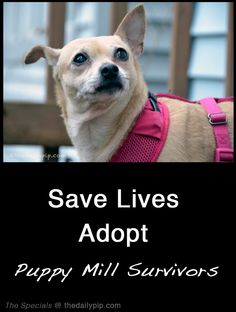 Fostering or adopting a #puppymill survivor, via @TheDailyPip #ADOPTdontShop Special needs animal adoption - because second chances are amazing whether you are on the receiving or giving side.