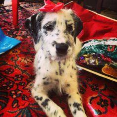 Dalmatian Irish Wolfhound mix #dalmatian #irishwolfhound #puppy