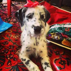 Dalmatian Irish Wolfhound mix #dalmatian #irishwolfhound #puppy  WANT WANT WANT WANT WANT... except for it is probably really energetic... but so beautiful!