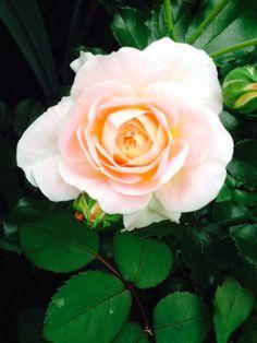 """rose """"pierre de ronsard""""   les fleurs du jardin le coteau de"""