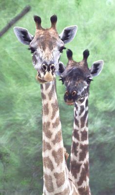 Two Tall Jones #Africa #Giraffe #Photography