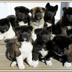 """In Love with American Akitas puppy! ""Verliebt in den amerikanischen Akitas-Welpen! Akita Puppies, Akita Dog, Cute Puppies, Cute Dogs, Dogs And Puppies, Doggies, Chihuahua Puppies, Japanese Akita, Japanese Dogs"