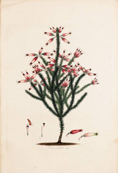 Coloured engravings of heaths. The drawings taken from living plants only. With the ... character, full description, native place of growth, and time of flowering of each; in Latin and English ... Volume 4 :: Great Flower Books