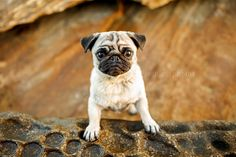Ruthless Photos would have to be one of my favourite pet photographers around. I have even had Ruth photograph Ref + Serina. The images Ruth creates are stunning, vibrant and well, just perfect. Ruth is no stranger to photographing pugs as they have featured in her Tails of Sydney book and will feature heavily in her newest charity project, the Squishy Face Crew Book. This session of the super adorable Prudence Flower is no exception. Each of these photos have personality, vibrant colours…