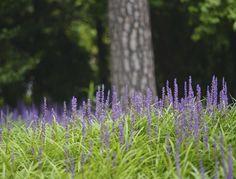 Lily turf