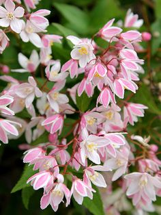 this would work for the tall focal point in a group planter. Deutzia 'Yuki Cherry Blossom'