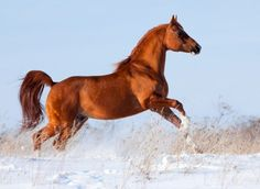 Arabian Horses, one of the oldest horse breeds (4500 years ago)