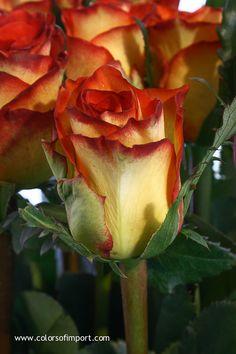 Rosa High & Magic (rose) www.colorsofimport.com