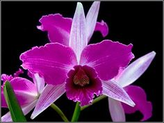 L. purpurata. flamea 'Petersen' X L. purpurata flamea 'Ewelin'