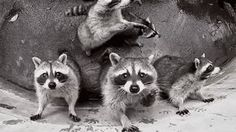Raccoon are the Best! Animals And Pets, Baby Animals, Funny Animals, Cute Animals, Cute Raccoon, Racoon, 1 Gif, Tier Fotos, All Gods Creatures