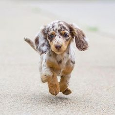 Things we admire about the Vigilant Daschund Puppies Super Cute Puppies, Cute Baby Dogs, Cute Little Puppies, Super Cute Animals, Cute Dogs And Puppies, Cute Funny Animals, Cute Baby Animals, Funny Puppies, Adorable Puppies