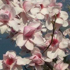 Image result for magnolia trees in flower