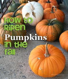 How to Ripen Pumpkins in the Fall