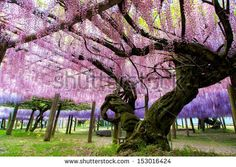 Find Great Wisteria Trellis stock images in HD and millions of other royalty-free stock photos, illustrations and vectors in the Shutterstock collection. Thousands of new, high-quality pictures added every day. Wisteria Trellis, Sketching, Photo Editing, Royalty Free Stock Photos, Magic, Plants, Pictures, Ideas, Editing Photos