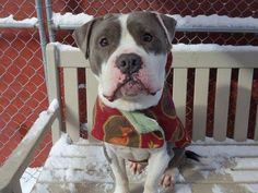 SAFE 01/23/15 (by A Home Fur Now Rescue) --- Manhattan Center   PEPPER - A1024921   MALE, WHITE / GRAY, PIT BULL MIX, 2 yrs STRAY - STRAY WAIT, NO HOLD Reason ABANDON  Intake condition EXAM REQ Intake Date 01/07/2015, From NY 10469, DueOut Date 01/10/2015 https://www.facebook.com/photo.php?fbid=941801609166052