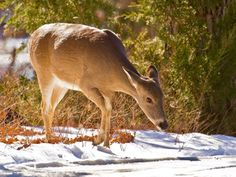 A whitetail doe forages in the snow at the Wichita Mountains Wildlife Refuge near Lawton, OK.  Photo by Lindell Dillon.