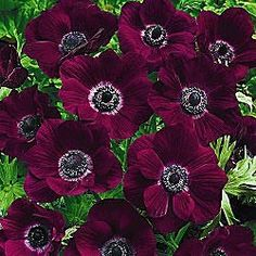 Burgundy poppies.