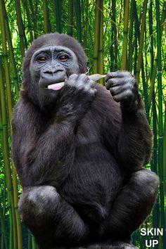Shop Gorilla Spliff Joint Weed Marijuana Cannabis OtterBox iPhone Case created by ImageMonkey. Cannabis, Medical Marijuana, Female Gorilla, Gorilla Gorilla, Small Monkey, Mountain Gorilla, Seeds For Sale, Primates, Buen Dia