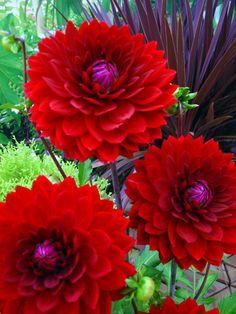 Dahlia Karma Royal - Gardening Prof