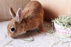 Ichigo san 478 いちごさんうさぎ rabbit bunny netherlanddwarf brown cute pet family ichigo ネザーランドドワーフ ペット いちご うさぎ