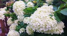 5 Must Have Shrubs with White Flowers (Lime Light Hydrangeas) - Redeem Your Ground | RYGblog.com