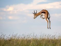 A springbok pronks in South Africa's Mountain Zebra National Park in this National Geographic Photo of the Day from our Your Shot community. Beautiful Creatures, Animals Beautiful, Cute Animals, Wild Animals, Funny Animals, African Animals, African Safari, Wildlife Photography, Animal Photography