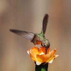hummingbird-and-cactus-flower