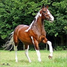 Paint mare