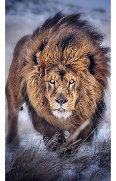 🦁If you Love Lions, You Must Check The Link In Our Bio 🔥 Exclusive Lion Related Products on Sale for a Limited Time Only! Tag a Lion Lover! Badass Pictures, Lion Pictures, Animals And Pets, Cute Animals, Nature Animals, Lion Photography, Male Lion, Lion Of Judah, Lion Art